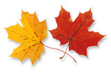two vivid maple leaves against white background,  poster