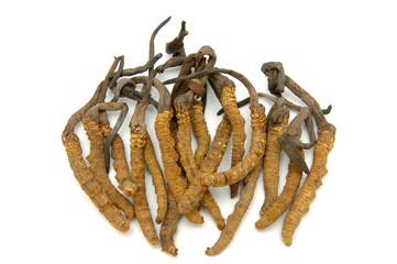 Cordyceps (a genus of ascomycete fungi)