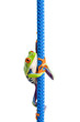 frog climbing up a blue rope - Agalychnis callidryas isolated