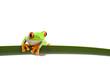 tree frog (Agalychnis callidryas) closeup isolated on white
