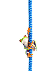 frog hanging on a rope - a red-eyed tree frog isolated on white