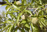 Unripe almonds on the tree poster