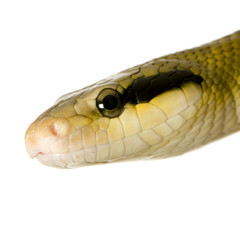 Rat snake in front of a white background