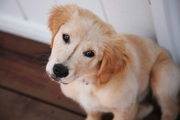 Adorable golden lab puppy with a curious look on her face