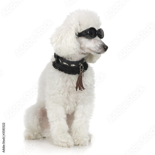 canvas print motiv - Eric Isselée : Poodle wearing collar and sunglasses