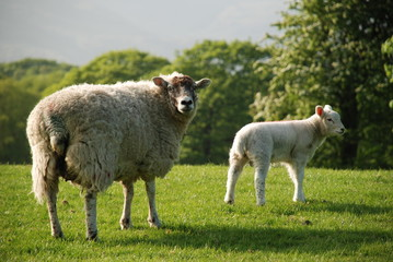 Sheep and Spring Lamb in a field
