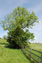 Tree in field with gate in sunshine