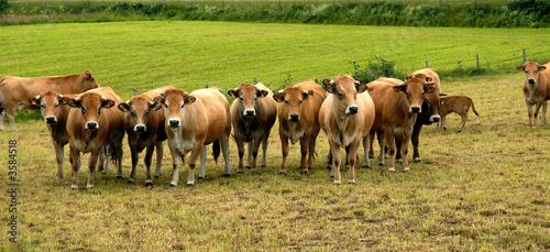 Papiers peints Vache vaches aubrac