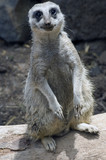 A curious adult suricate basking in the sunshine poster