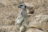 Curious adult suricate basking in the sunshine poster