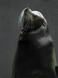 Profile of adult common seal against grey background poster