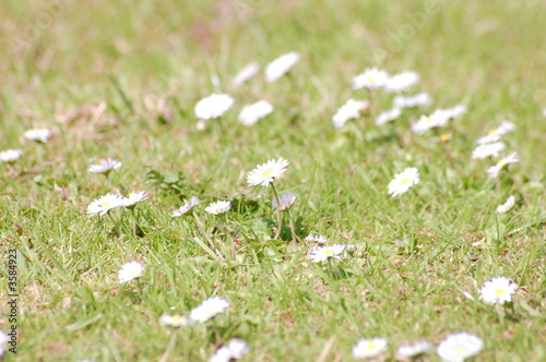 daisys and grass 1
