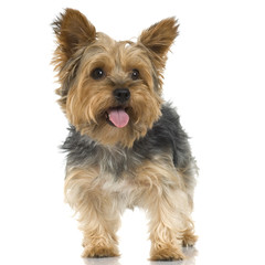 Adult Yorkshire Terrier in front of a white background