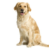 Labrador retriever cream in front of white background poster