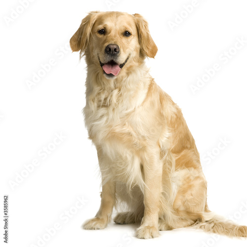 poster of Labrador retriever cream in front of white background