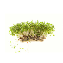 Watercress isolated on white