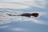 Water rat poster