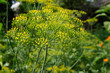 Fennel in the kitchen-garden