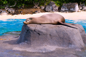 Sea Lion taking a sun bath on a rock