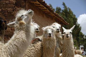 Peruvian Llamas