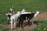 Young goats on morning grazing poster
