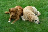 "My dog   - "" Golden retriever "" and"