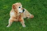 "My dog   - "" Golden retriever ""  poster"