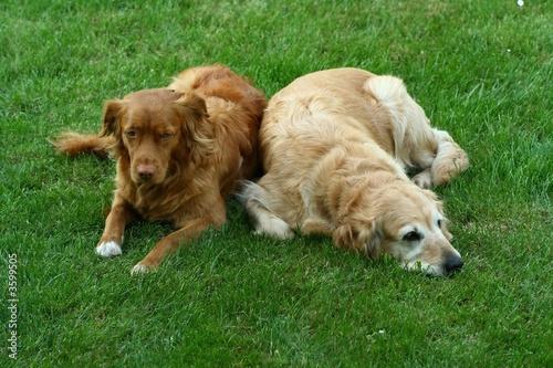 """poster of My dog   - """" Golden retriever """" and  Nova Scotia  """""""
