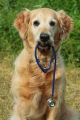 Dog with stethoscope on garden
