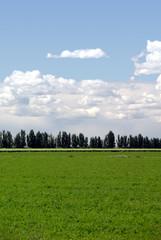 Row Of Wind Break Trees, Alfalfa Field, Summer Clouds, Portrait