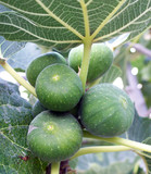 wild unripe figs on the tree in santorini Greece poster