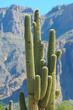 Giant saguaro cacti