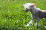 Chinese crested dog puppy walking poster