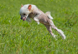Chinese crested dog puppy playing - big jump poster