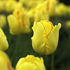 Yellow tulip whit red edge.