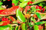 dragons tongue plant poster