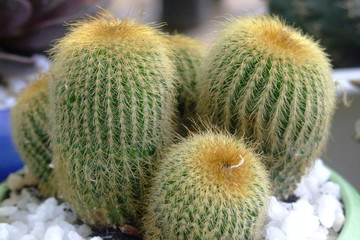 cactus, vietnam