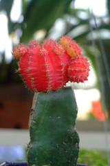 fleur de cactus, vietnam
