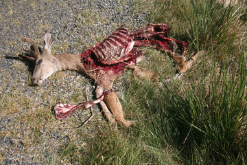 Dead deer that has been partially eaten