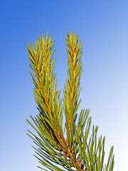 A branch of a pinetree on a blue gradient background