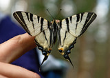 Butterflies of Russia, uljanovskii region. Midsummer. poster