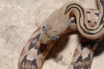 A trans pecos ratsnake photographed directly above it's head.