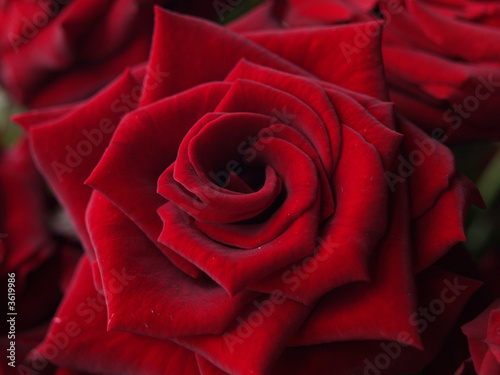 Bloom of Red Rose
