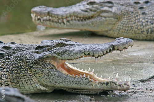 Crocodile jaws