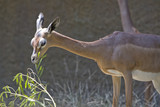 Horizontal image of a gerenuk eating poster