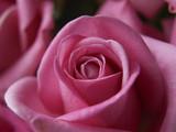 Fototapety Bloom of Pink Rose