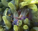 spotted cleaner shrimp poster