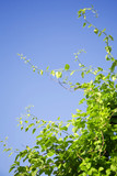 green branches reaching for bright blue sky poster