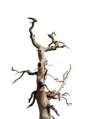 Old Crooked Tree