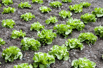 Rows of butterhead lettuce in a farm